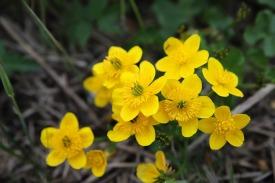 marsh-marigold-3441878_1280